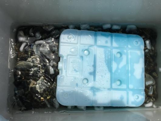 竹島海岸潮干狩りの保冷剤