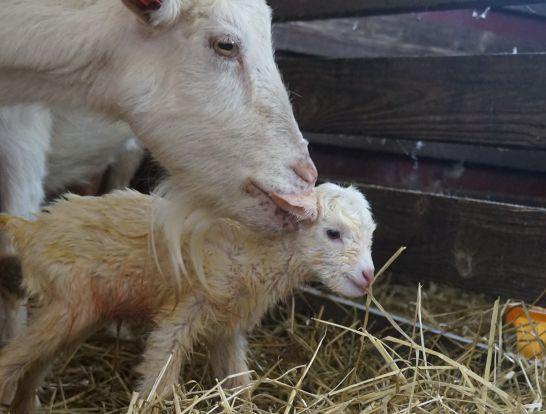 ハイジ牧場の生まれたての子ヤギ