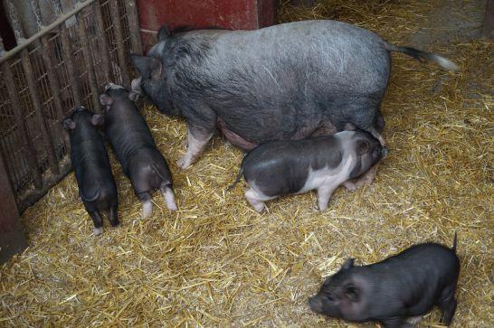 ハイジ牧場のブタは豚コレラの影響で触れ合い出来ず