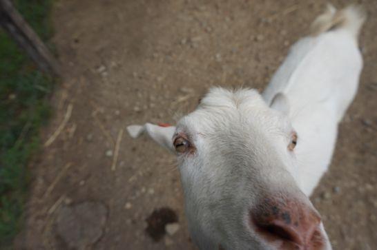 ハイジ牧場のふれあい広場で興奮気味のヤギたち