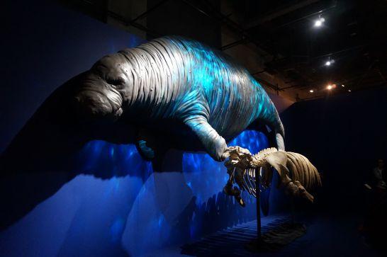 名古屋市科学館の特別展『絶滅動物研究所』のステラーカイギュウのはく製と骨