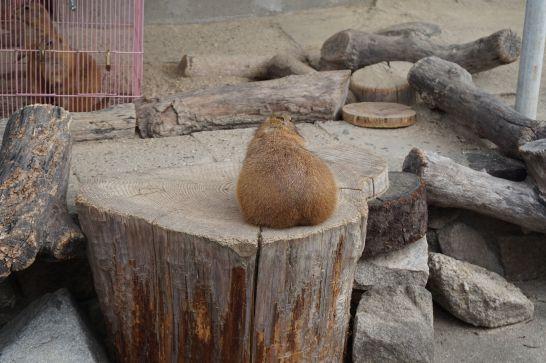 岡崎市東公園動物園のオグロプレーリードッグのお尻