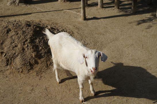 岡崎市東公園動物園のヤギ