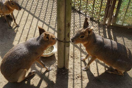 岡崎市東公園動物園のマーラ