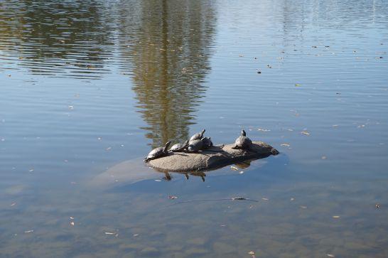 堀内公園の池にいるカメ