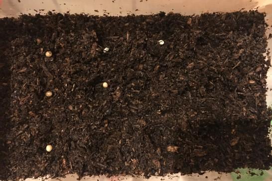 カブトムシの成虫の産卵に必要なもの