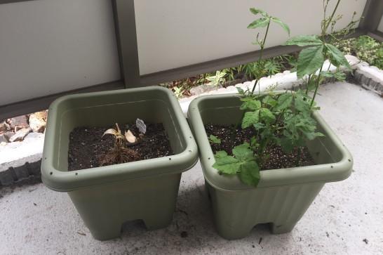 ベランダ家庭菜園の様子